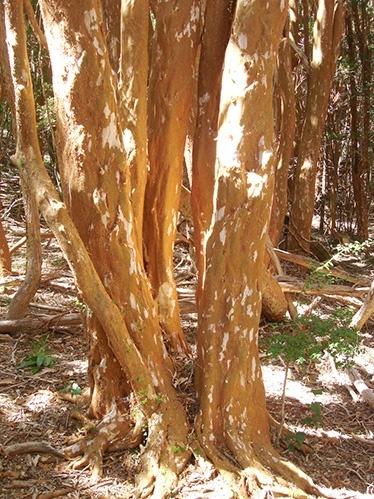 élő fa visszér visszér-asztrakhan kezelés