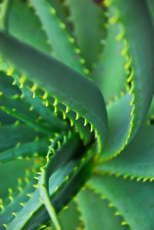 agave visszér kezelés